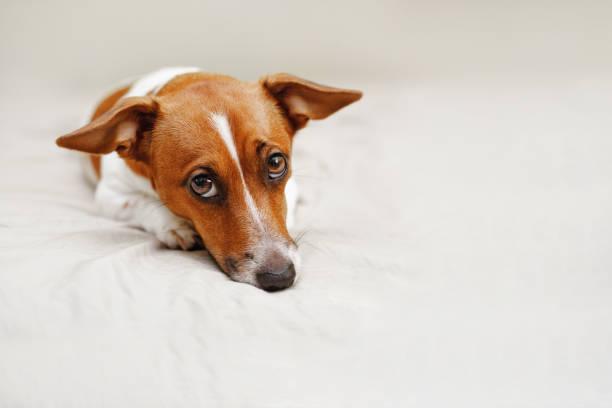 Traurig jack Russell Hund auf Bett liegend. – Foto