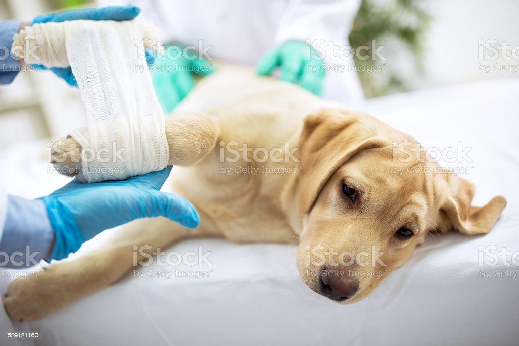 Traurig labrator mit gebrochenen Bein – Foto