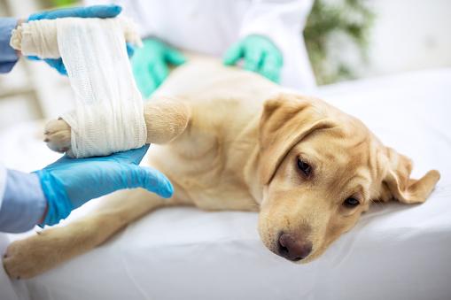Sad Labrator With Broken Leg Stock Photo - Download Image Now