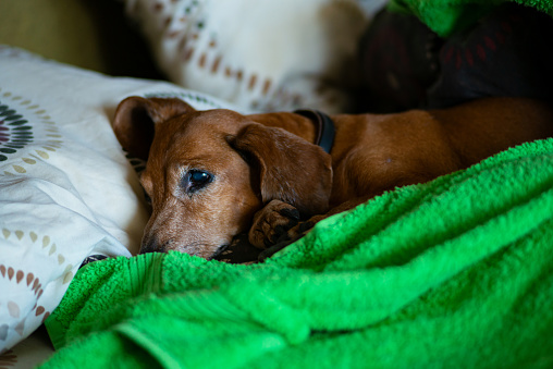 Curious little dog, the dachshund is lying on the couch