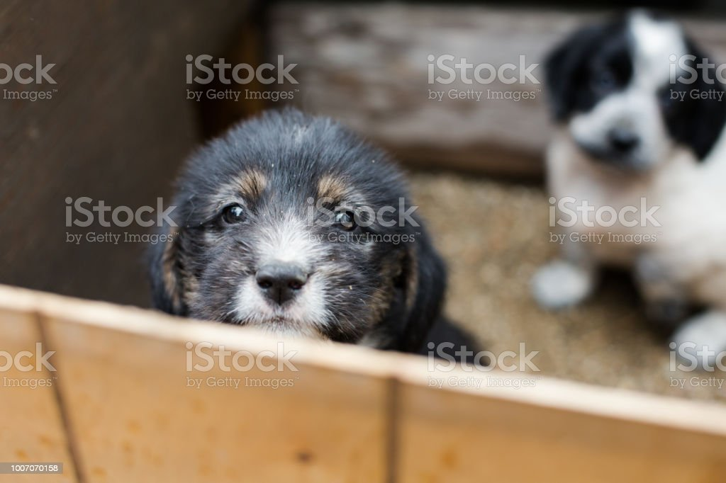 Sad Little puppy in a wooden box is asking to be adopted with hope. Homeless black and tan dog stock photo