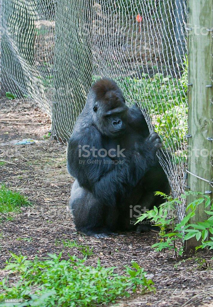 sad lonley gorilla stock photo