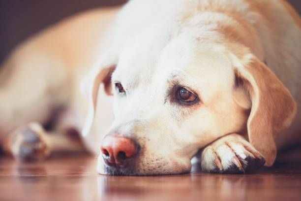 Sad look of the old dog stock photo