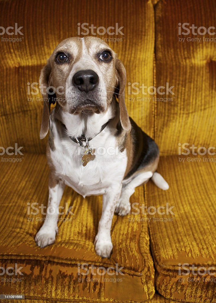 Sad Looking Beagle Dog stock photo