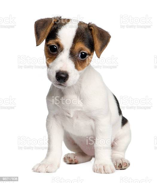 Sad looking jack russell puppy picture id93217508?b=1&k=6&m=93217508&s=612x612&h=w rxn0qjdou0ex3zpijzuw8kykthl2mkixzupqwofak=