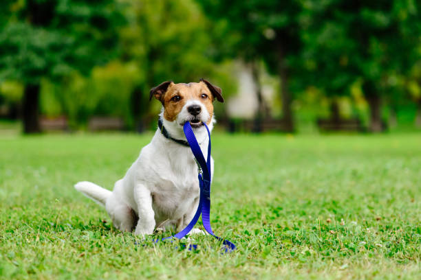 Sad lost dog with leash in mouth as concept of abandon pet needs adoption Jack Russell Terrier fetches its own leash lost stock pictures, royalty-free photos & images