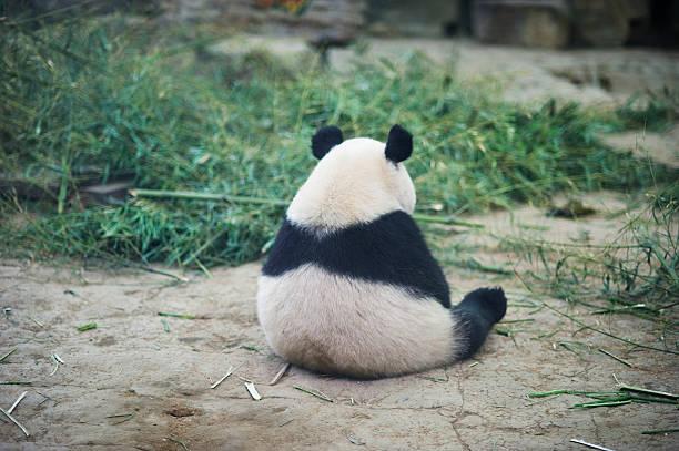 triste panda - panda photos et images de collection