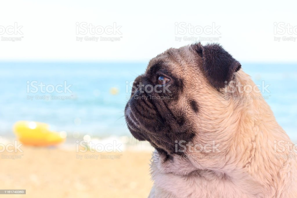Sad pug dog sits on the beach and looks to the sea. Pug relaxing and...