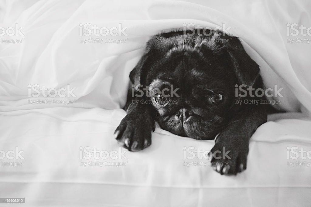 Sad Pug in Bed stock photo