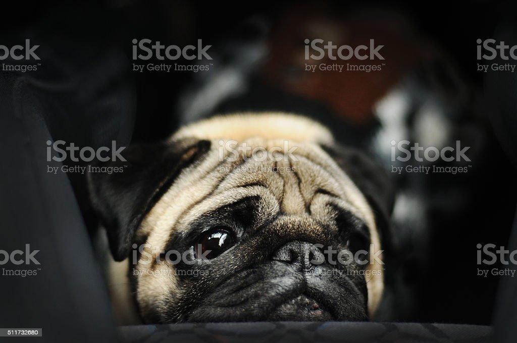 Sad pug portrait stock photo