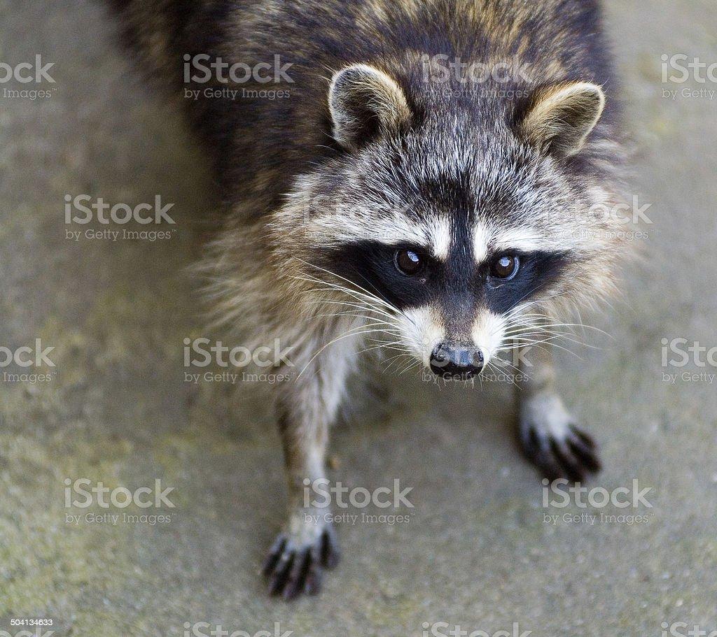 Sad raccoon stock photo