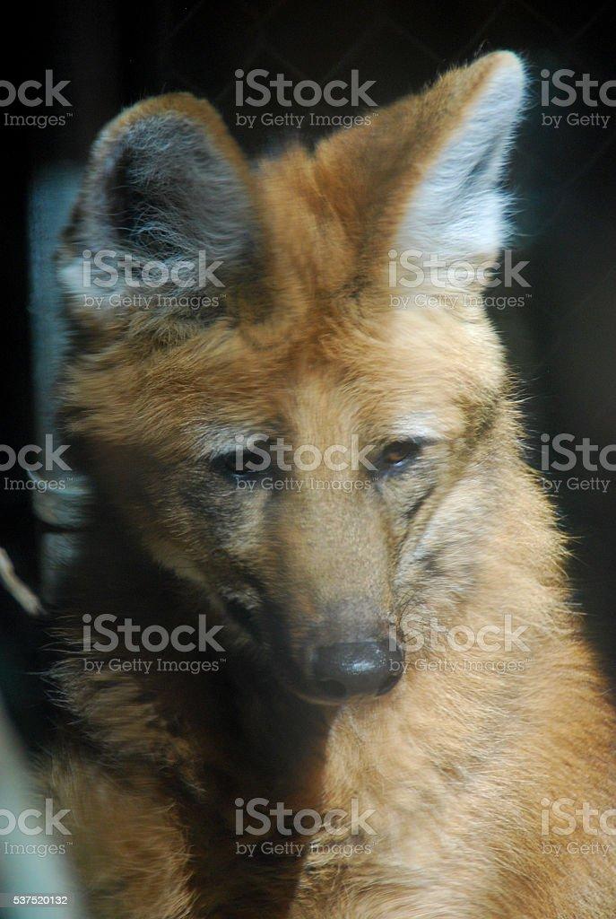 Sad Red Wolf stock photo