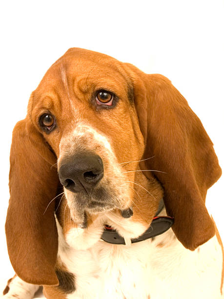 Sad, reflective Bassett Hound head tilted stock photo