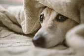 istock Sad relaxed sleepy dog eyes aunder the blanket. Napping at cozy bed. Pet comfortable rest care 1132974266
