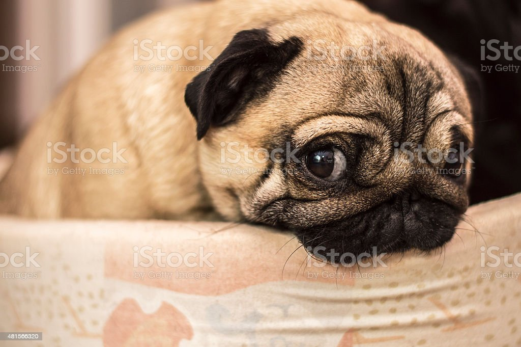 sad sorry guilty dog pug stock photo