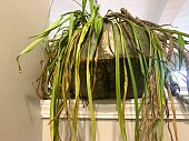 istock Sad Spider Plant Rescued from Trash 1292310825