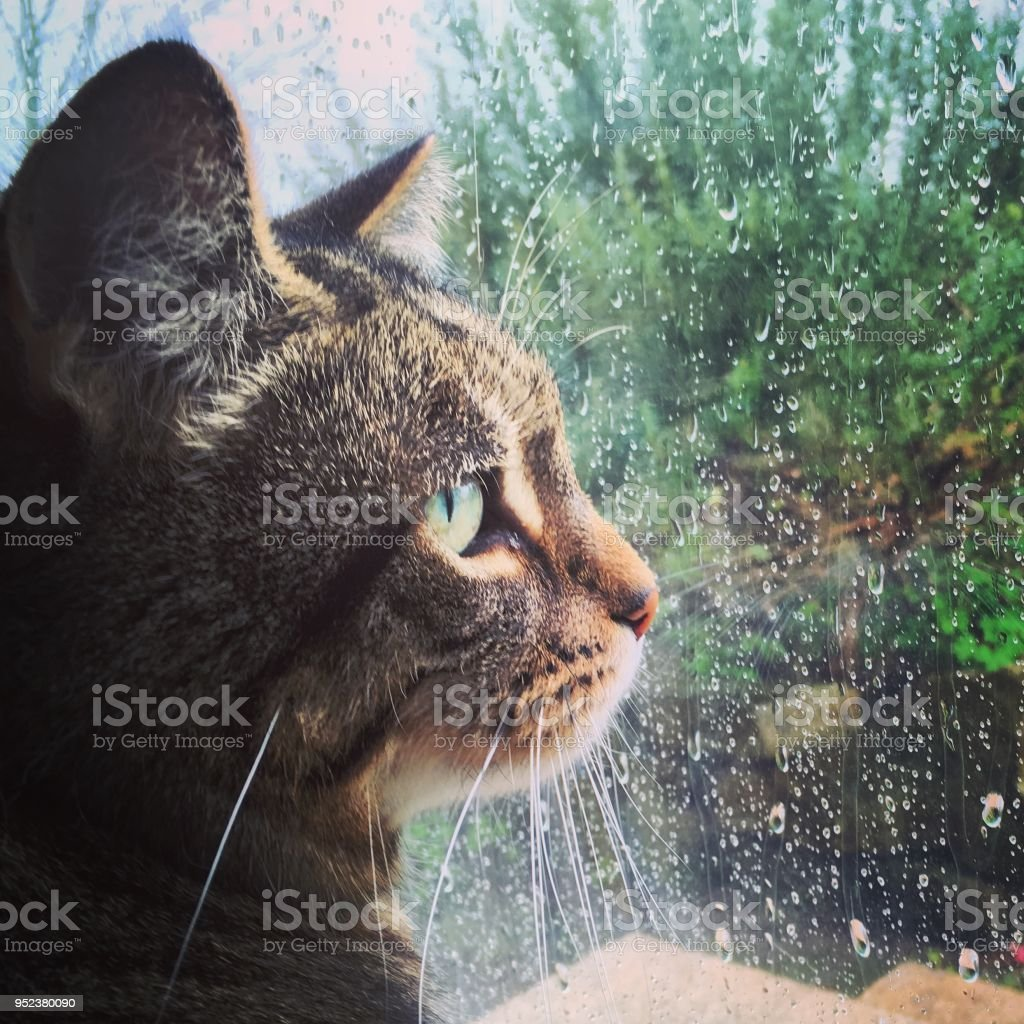 Sad tabby cat looking out out window with raindrops stock photo