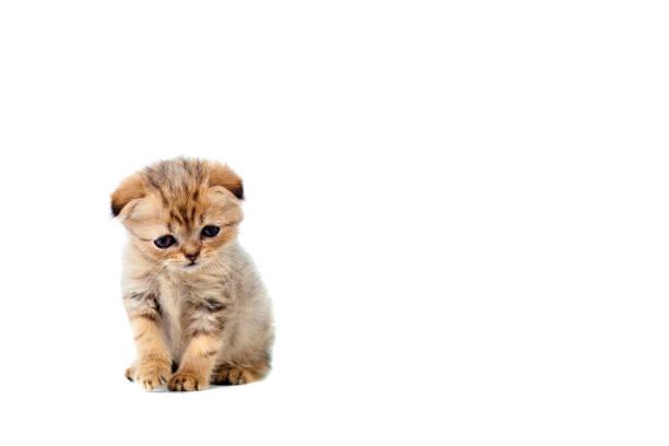 Sad very small fluffy kitten scottish fold on white isolated with a picture id903022666?b=1&k=6&m=903022666&s=612x612&w=0&h=r22c5ks1hnhwfdfa2sr9tp d e4iygmftfz gv3ljga=