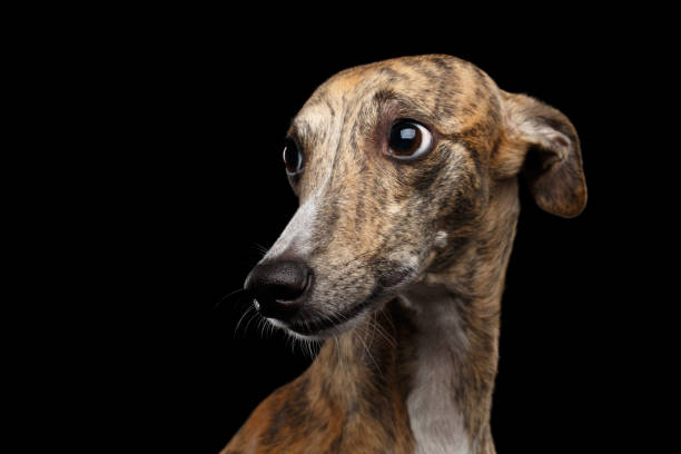 Sad Whippet Dog on Black Background Sad Portrait of Whippet Dog Looks Guilty on Isolated Black Background whippet stock pictures, royalty-free photos & images