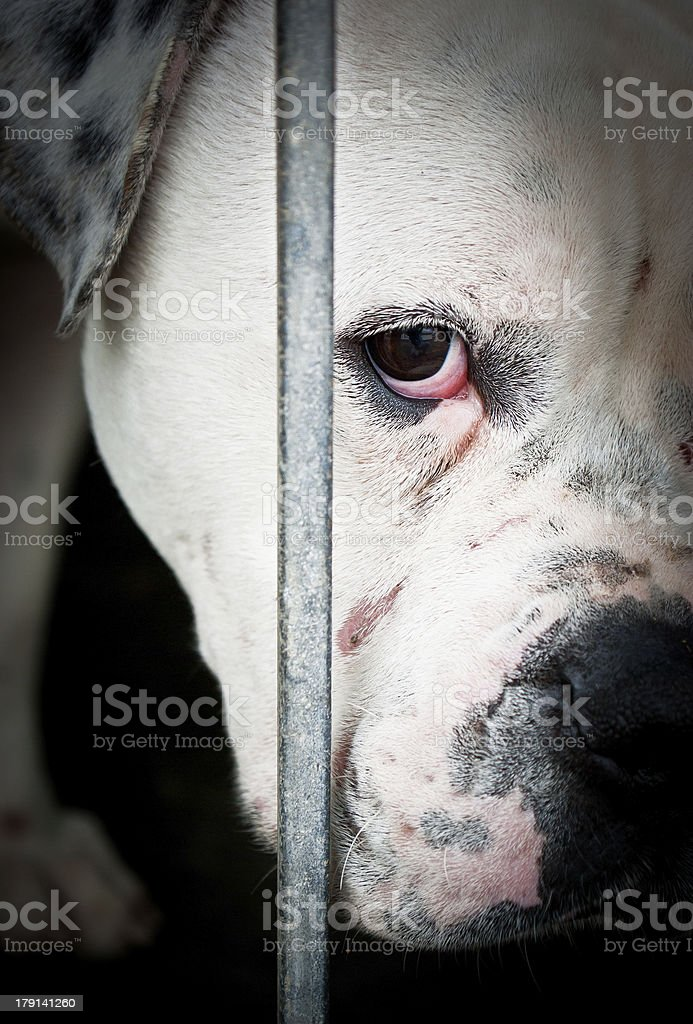 Sad white and isolated dog behind grids stock photo