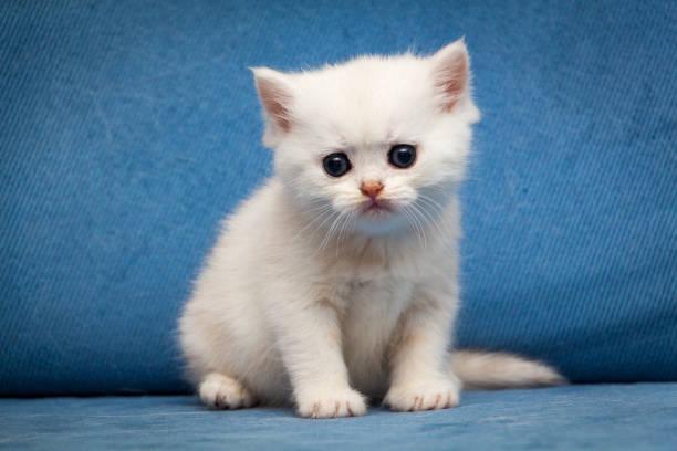 Sad white British kitten sitting on a blue couch stock photo