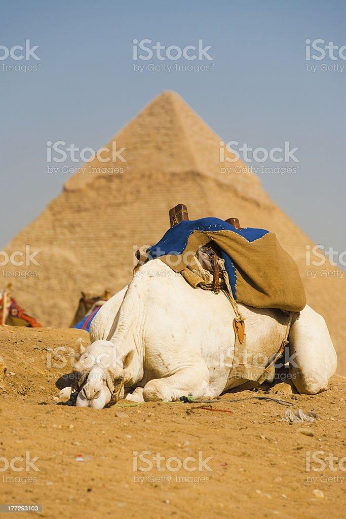 Sad White Camel Pyramid Giza Cairo royalty-free stock photo