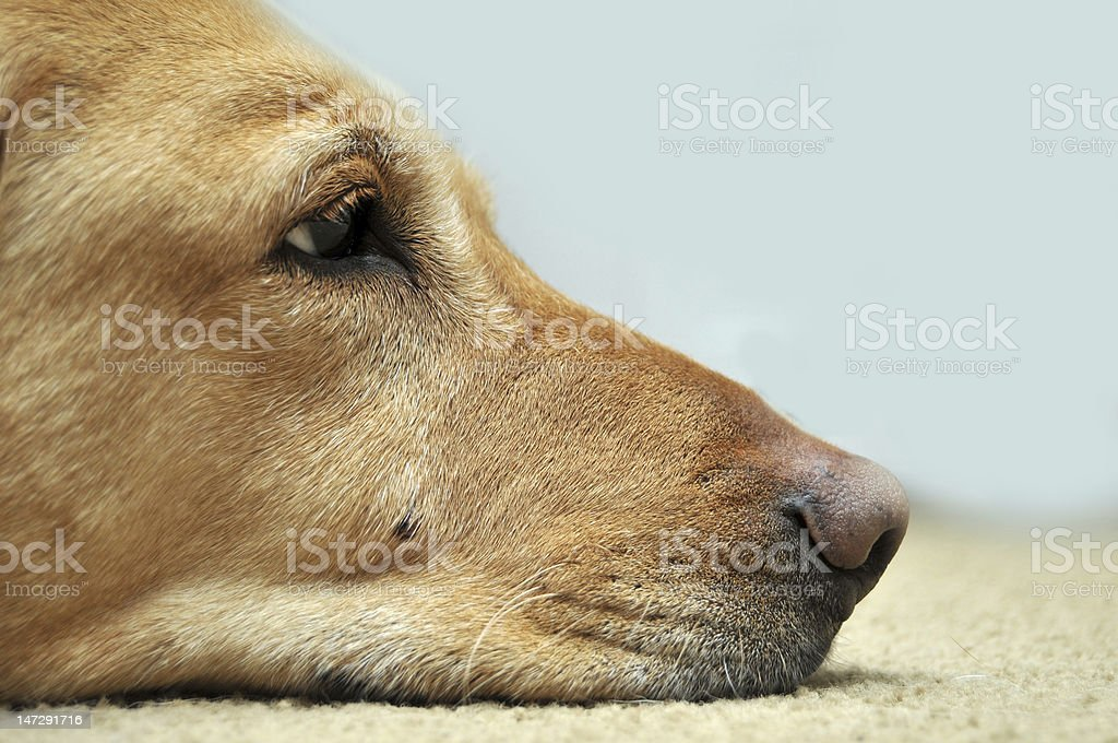Sad Yellow Lab Laying On Carpet stock photo