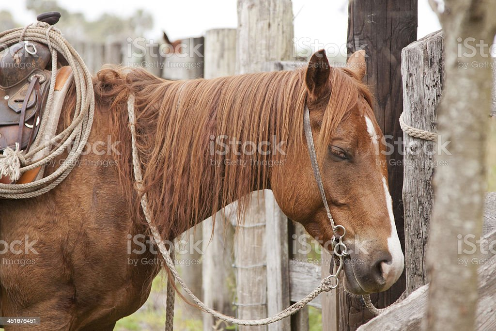 Saddle Horse waits for cowboy stock photo