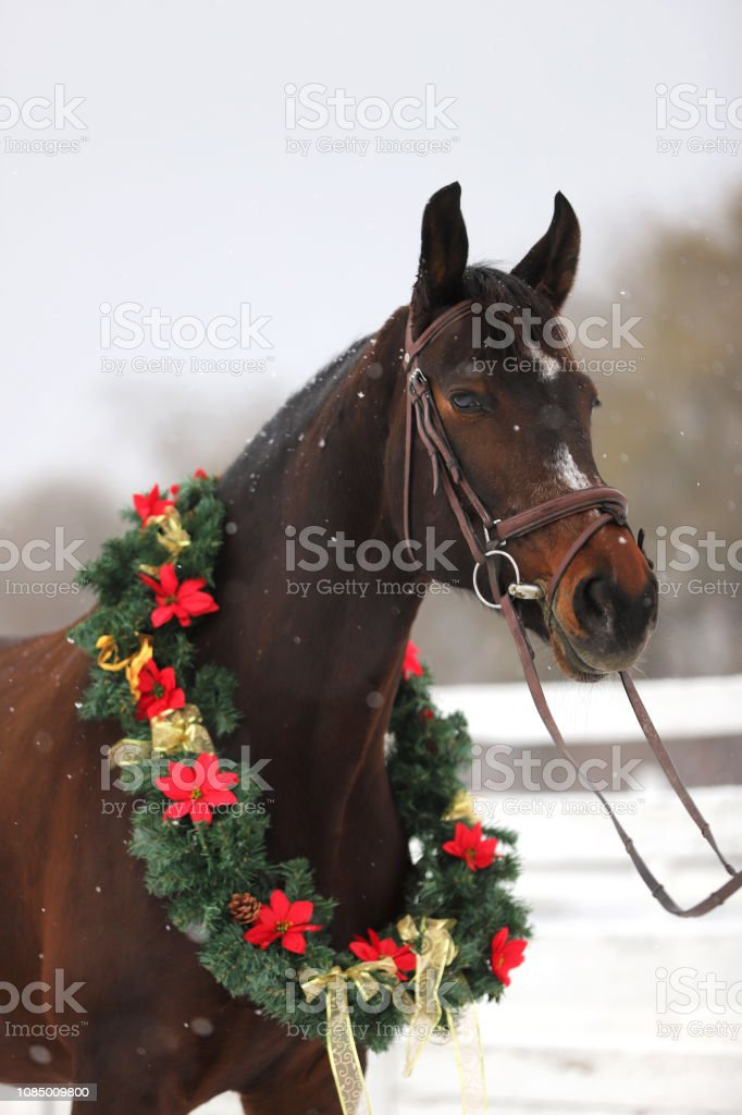 Christmas Horse Pictures.Saddle Horse Wearing Beautiful Colorful Christmas Wreath At Advent Weekend In The Fresh Snow Stock Photo Download Image Now