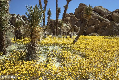 Saddleback Butte State Park and wildflowers in spring near Palmdale and Lancaster California