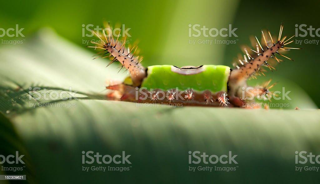 saddleback caterpillar stock photo