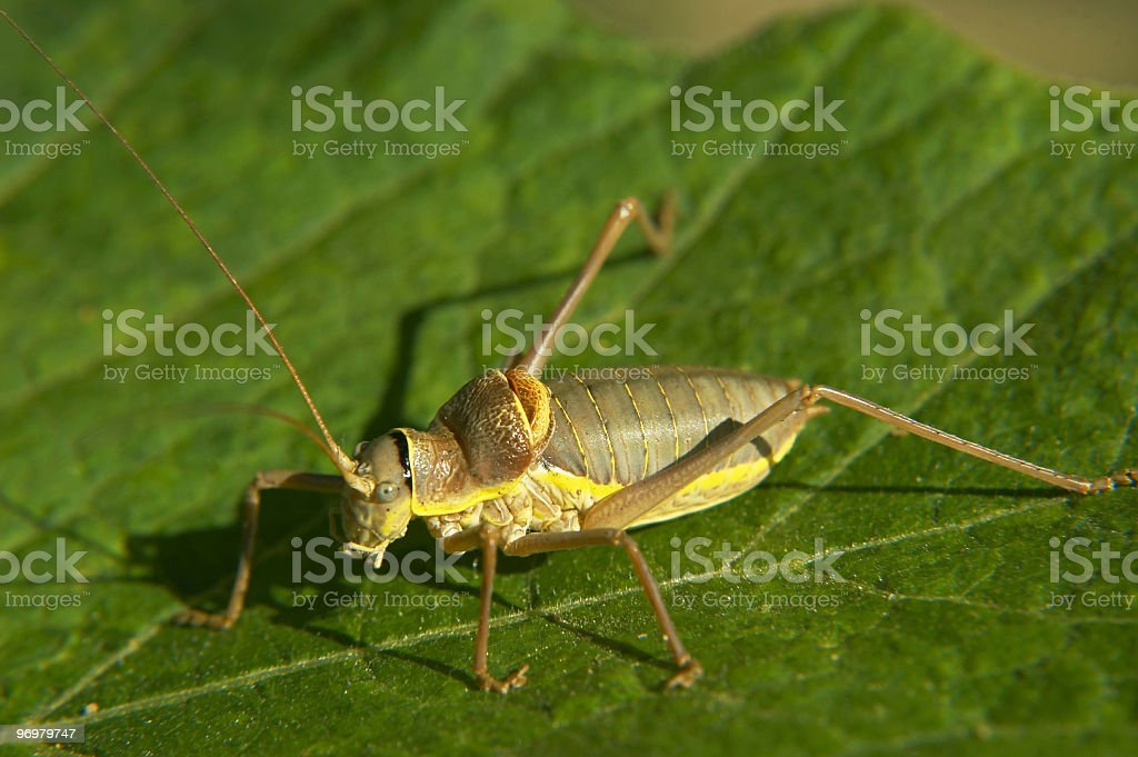 Saddle-backed bush cricket stock photo
