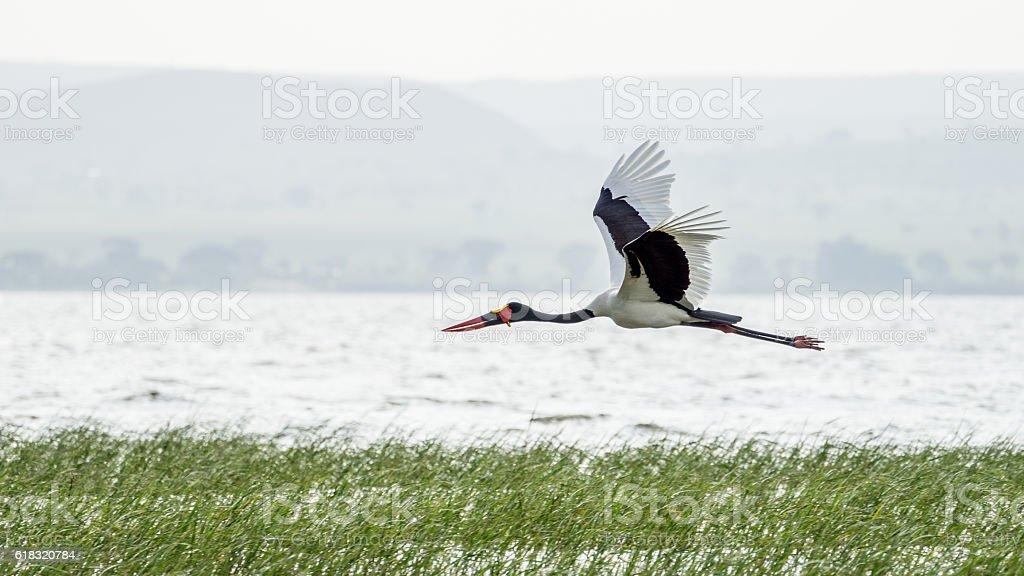 Saddlebill in mid flight stock photo