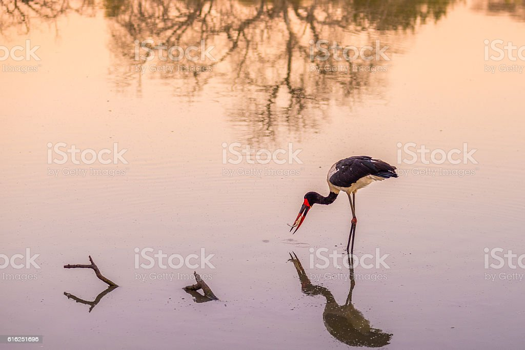 Saddle-billed stork fishing, South Africa stock photo