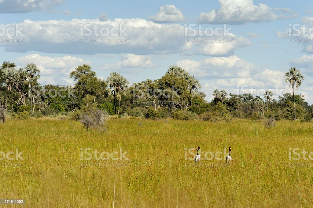 Saddle-billed storks royalty-free stock photo