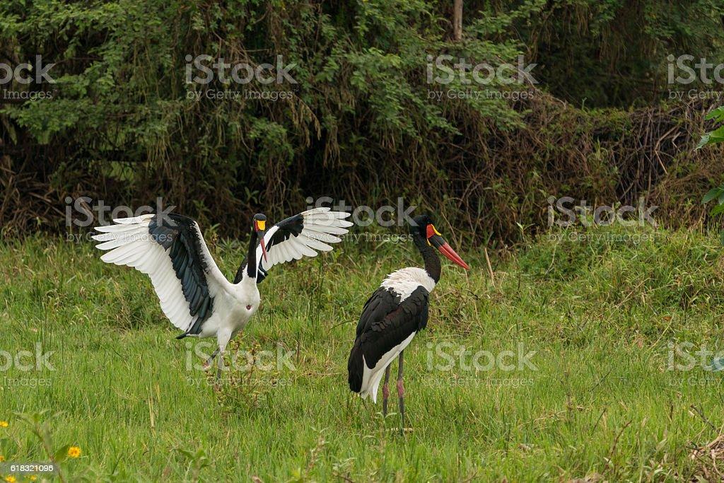 Saddlebills in Hawassa stock photo