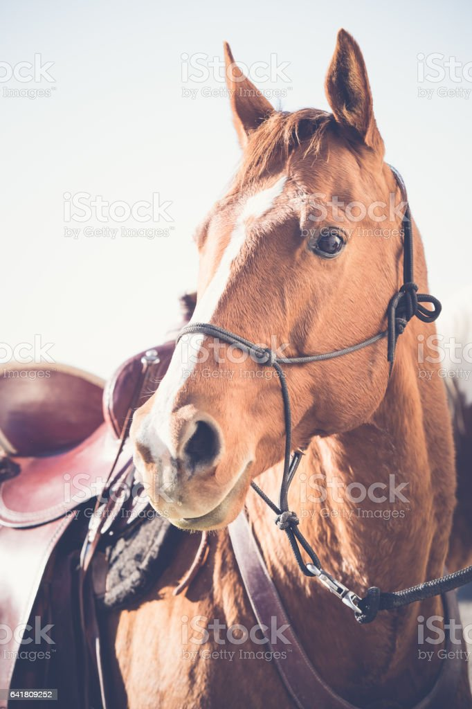 Saddled Horse Wearing Halter stock photo