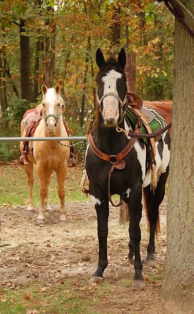 Saddled Horses Standing stock photo