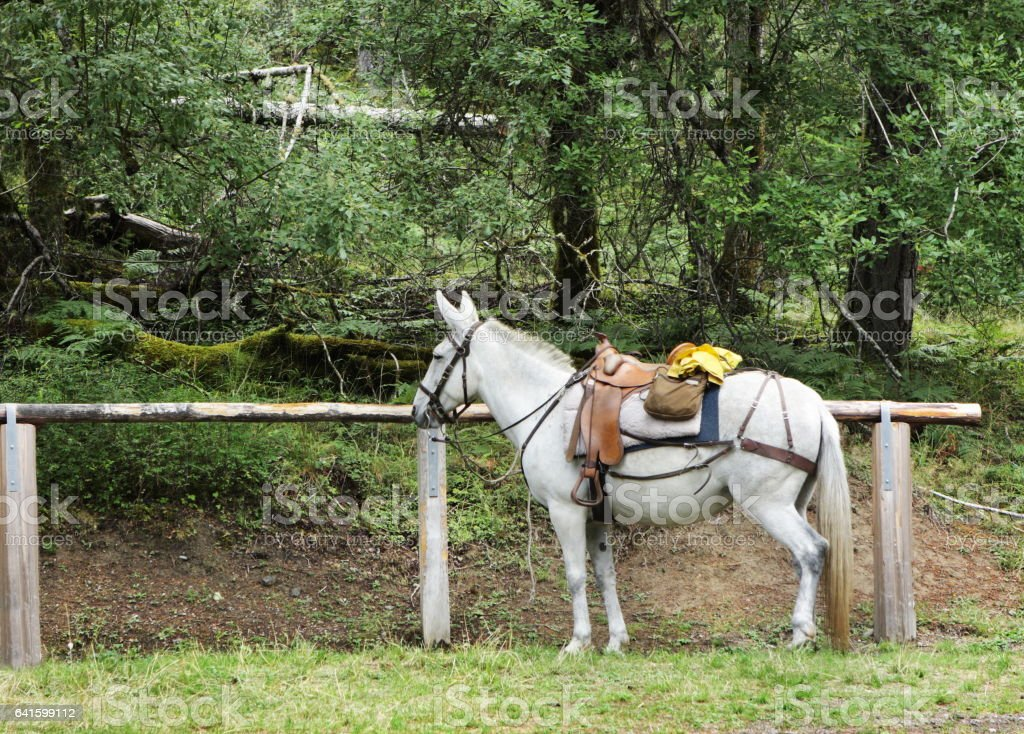 Saddled Mule Wilderness Camping Trail Ride stock photo