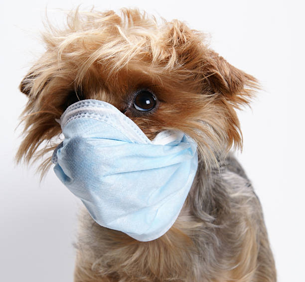 Sadie Mae has the flu stock photo