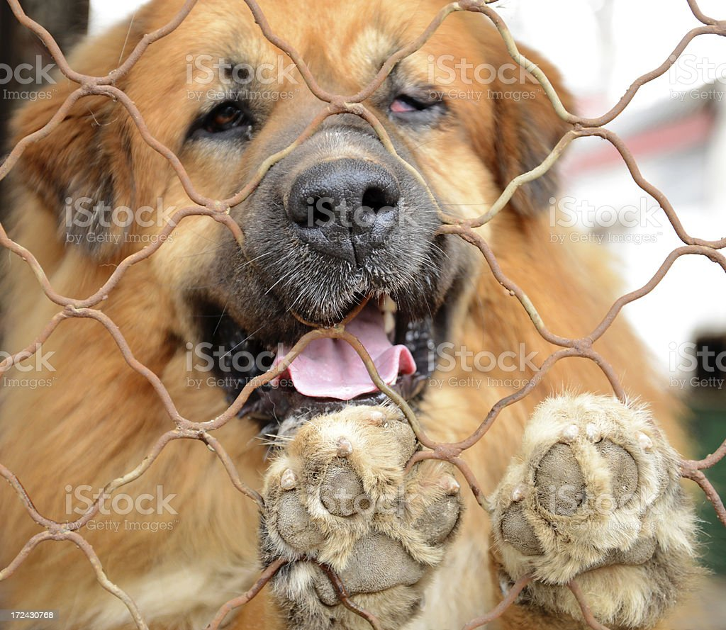 sadness Dog In The Cage royalty-free stock photo
