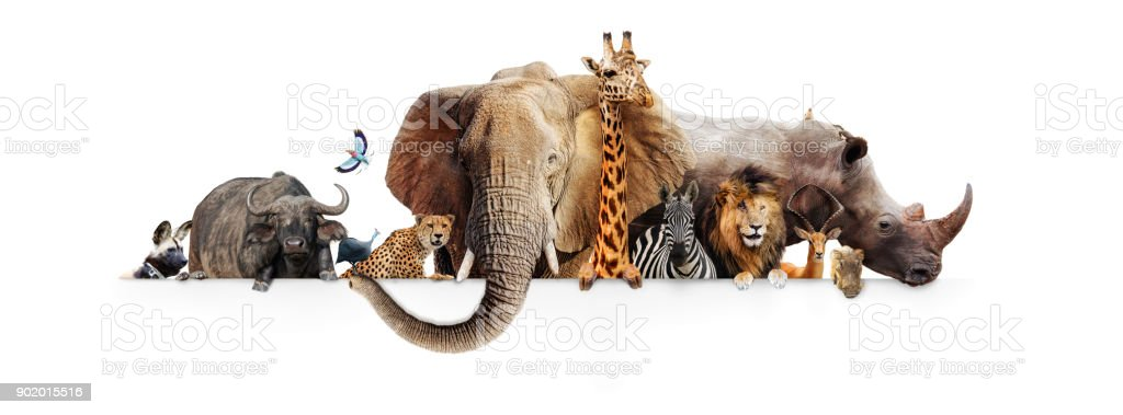 Safari Animals Hanging Over White Banner royalty-free stock photo