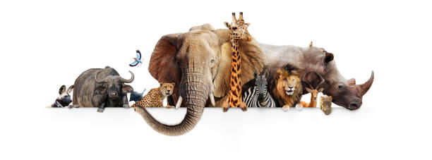Safari Animals Hanging Over White Banner stock photo