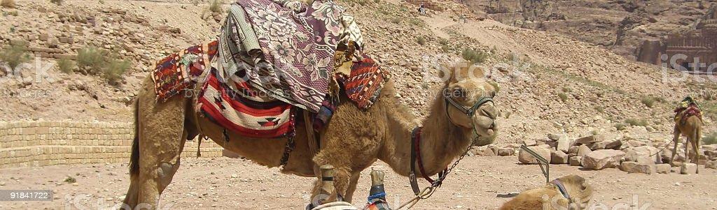 Safari Camel Riding royalty-free stock photo