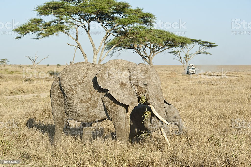 \'Safari cars are following a pair of African Elephants in the plains...