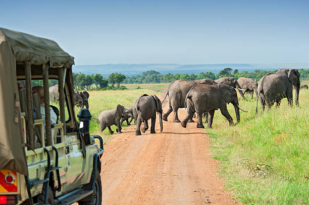 safari car is waiting for crossing elephants - safari stock photos and pictures