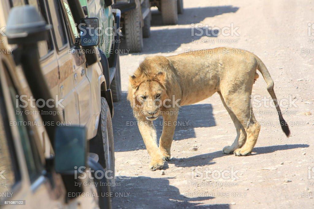 Ngorongoro Crater, Tanzania – September 16, 2017: Safari cars cutting...
