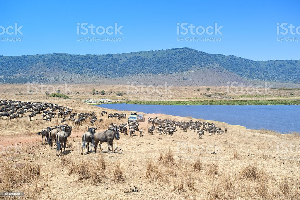 Safari cars in middle of Wildebeests, Ngorongoro Crater stock photo