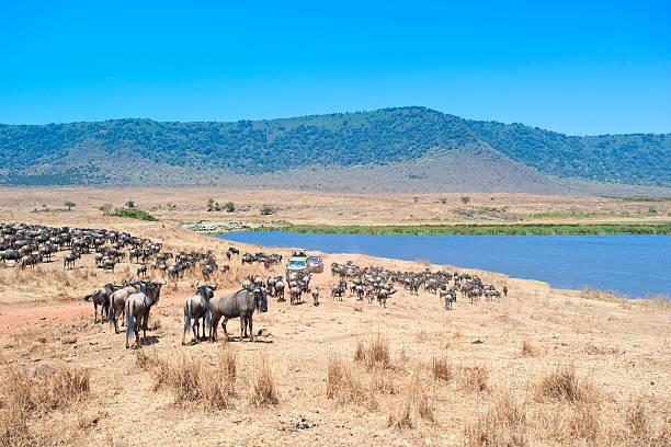 safari fahrzeuge in der mitte des wildebeests, ngorongorokrater - afrikanische steppe dürre stock-fotos und bilder