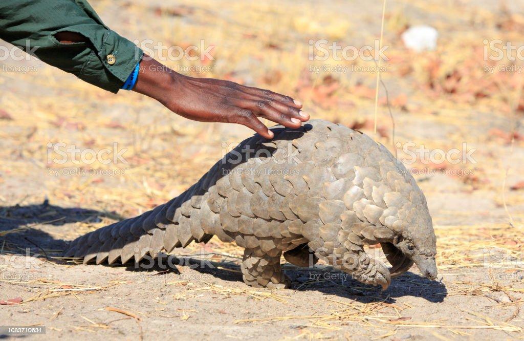 Ein Safari-Guide bückt sich, um eine vom Aussterben bedrohte Pangolin im Hwange National Park zu berühren - Lizenzfrei Afrika Stock-Foto
